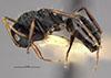 http://mczbase.mcz.harvard.edu/specimen_images/entomology/large/MCZ-ENT00021624_Camponotus_sanctaefidei_darlingtoni_hal.jpg