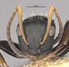http://mczbase.mcz.harvard.edu/specimen_images/entomology/large/MCZ-ENT00021624_Camponotus_sanctaefidei_darlingtoni_hef.jpg