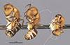 http://mczbase.mcz.harvard.edu/specimen_images/entomology/large/MCZ-ENT00021630_Camponotus_heathi_hala.jpg