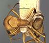 http://mczbase.mcz.harvard.edu/specimen_images/entomology/large/MCZ-ENT00021631_Camponotus_heathi_var_gilvigaster_had.jpg