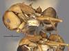 http://mczbase.mcz.harvard.edu/specimen_images/entomology/large/MCZ-ENT00021631_Camponotus_heathi_var_gilvigaster_halb.jpg