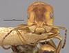 http://mczbase.mcz.harvard.edu/specimen_images/entomology/large/MCZ-ENT00021631_Camponotus_heathi_var_gilvigaster_hefa.jpg