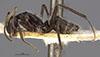 http://mczbase.mcz.harvard.edu/specimen_images/entomology/large/MCZ-ENT00021632_Camponotus_emeryodicatus_decessor_hal.jpg