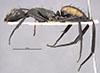 http://mczbase.mcz.harvard.edu/specimen_images/entomology/large/MCZ-ENT00021633_Camponotus_banghaasi_hala.jpg
