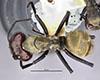 http://mczbase.mcz.harvard.edu/specimen_images/entomology/large/MCZ-ENT00021635_Camponotus_sericeiventris_var_otoquensis_had.jpg
