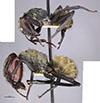 http://mczbase.mcz.harvard.edu/specimen_images/entomology/large/MCZ-ENT00021635_Camponotus_sericeiventris_var_otoquensis_hala.jpg
