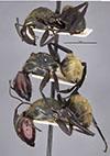 http://mczbase.mcz.harvard.edu/specimen_images/entomology/large/MCZ-ENT00021636_Camponotus_sericeiventris_rex_var_cualatensis_hala.jpg