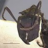 http://mczbase.mcz.harvard.edu/specimen_images/entomology/large/MCZ-ENT00021636_Camponotus_sericeiventris_rex_var_cualatensis_hef.jpg