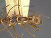 http://mczbase.mcz.harvard.edu/specimen_images/entomology/large/MCZ-ENT00021637_Dendromyrmex_fabricii_var_pictus_had.jpg