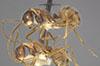 http://mczbase.mcz.harvard.edu/specimen_images/entomology/large/MCZ-ENT00021637_Dendromyrmex_fabricii_var_pictus_halb.jpg