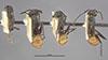 http://mczbase.mcz.harvard.edu/specimen_images/entomology/large/MCZ-ENT00021638_Dendromyrmex_nidulans_var_nigripes_hada.jpg