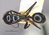 http://mczbase.mcz.harvard.edu/specimen_images/entomology/large/MCZ-ENT00021641_Calomyrmex_iridescens_had.jpg