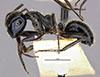 http://mczbase.mcz.harvard.edu/specimen_images/entomology/large/MCZ-ENT00021641_Calomyrmex_iridescens_hal.jpg