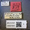 http://mczbase.mcz.harvard.edu/specimen_images/entomology/large/MCZ-ENT00021641_Calomyrmex_iridescens_lbs.jpg