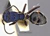 http://mczbase.mcz.harvard.edu/specimen_images/entomology/large/MCZ-ENT00021642_Calomyrmex_splendidus_var_viridiventris_had.jpg