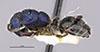 http://mczbase.mcz.harvard.edu/specimen_images/entomology/large/MCZ-ENT00021642_Calomyrmex_splendidus_var_viridiventris_hal.jpg