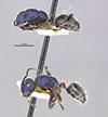 http://mczbase.mcz.harvard.edu/specimen_images/entomology/large/MCZ-ENT00021642_Calomyrmex_splendidus_var_viridiventris_hala.jpg