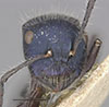 http://mczbase.mcz.harvard.edu/specimen_images/entomology/large/MCZ-ENT00021642_Calomyrmex_splendidus_var_viridiventris_hef.jpg