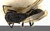http://mczbase.mcz.harvard.edu/specimen_images/entomology/large/MCZ-ENT00021643_Colomyrmex_vacillans_had.jpg