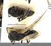 http://mczbase.mcz.harvard.edu/specimen_images/entomology/large/MCZ-ENT00021643_Colomyrmex_vacillans_hada.jpg