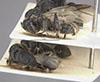 http://mczbase.mcz.harvard.edu/specimen_images/entomology/large/MCZ-ENT00021643_Colomyrmex_vacillans_hala.jpg
