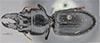 http://mczbase.mcz.harvard.edu/specimen_images/entomology/large/MCZ-ENT00022016_Scarites_monticola_had.jpg