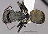 http://mczbase.mcz.harvard.edu/specimen_images/entomology/large/MCZ-ENT00022418_Camponotus_gilviventris_var_refectus_had.jpg