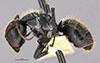 http://mczbase.mcz.harvard.edu/specimen_images/entomology/large/MCZ-ENT00022418_Camponotus_gilviventris_var_refectus_hala.jpg