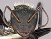 http://mczbase.mcz.harvard.edu/specimen_images/entomology/large/MCZ-ENT00022418_Camponotus_gilviventris_var_refectus_hefa.jpg
