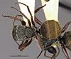 http://mczbase.mcz.harvard.edu/specimen_images/entomology/large/MCZ-ENT00022419_Camponotus_gilviventris_var_renormatus_had.jpg