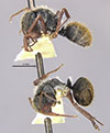 http://mczbase.mcz.harvard.edu/specimen_images/entomology/large/MCZ-ENT00022419_Camponotus_gilviventris_var_renormatus_hala.jpg