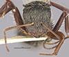 http://mczbase.mcz.harvard.edu/specimen_images/entomology/large/MCZ-ENT00022419_Camponotus_gilviventris_var_renormatus_hefa.jpg