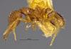 http://mczbase.mcz.harvard.edu/specimen_images/entomology/large/MCZ-ENT00022440_Strumigenys_lovisianae_soledadensis_hal.jpg