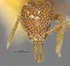 http://mczbase.mcz.harvard.edu/specimen_images/entomology/large/MCZ-ENT00022440_Strumigenys_lovisianae_soledadensis_hef.jpg