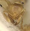 http://mczbase.mcz.harvard.edu/specimen_images/entomology/large/MCZ-ENT00022613_Solenopsis_salina_hef.jpg