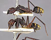 http://mczbase.mcz.harvard.edu/specimen_images/entomology/large/MCZ-ENT00022646_Camponotus_midas_halc.jpg