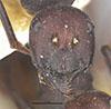 http://mczbase.mcz.harvard.edu/specimen_images/entomology/large/MCZ-ENT00022646_Camponotus_midas_hefa.jpg