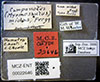 http://mczbase.mcz.harvard.edu/specimen_images/entomology/large/MCZ-ENT00022646_Camponotus_midas_lbsa.jpg