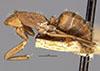 http://mczbase.mcz.harvard.edu/specimen_images/entomology/large/MCZ-ENT00022708_Camponotus_coruscus_var_fulgens_hala.jpg
