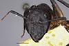 http://mczbase.mcz.harvard.edu/specimen_images/entomology/large/MCZ-ENT00022709_Camponotus_sexpunctatus_hefa.jpg