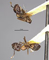 http://mczbase.mcz.harvard.edu/specimen_images/entomology/large/MCZ-ENT00022710_Camponotus_korthalsiae_var_concilians_hada.jpg
