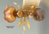 Media of type image, MCZ:Ent:22753 Identified as Pheidole vigilans type status Syntype of Pheidole ampla norfolkensis. . Aspect: habitus dorsal view