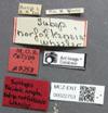 Media of type image, MCZ:Ent:22753 Identified as Pheidole vigilans type status Syntype of Pheidole ampla norfolkensis. . Aspect: labels