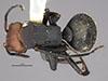 http://mczbase.mcz.harvard.edu/specimen_images/entomology/large/MCZ-ENT00022773_Camponotus_rectangularis_var_willowsi_had.jpg