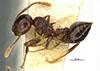 http://mczbase.mcz.harvard.edu/specimen_images/entomology/large/MCZ-ENT00022774_Crematogaster_sanguinea_var_atavista_hal.jpg