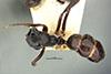 http://mczbase.mcz.harvard.edu/specimen_images/entomology/large/MCZ-ENT00022793_Camponotus_confucii_had.jpg