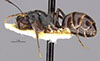 http://mczbase.mcz.harvard.edu/specimen_images/entomology/large/MCZ-ENT00022793_Camponotus_confucii_hala.jpg