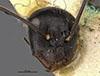http://mczbase.mcz.harvard.edu/specimen_images/entomology/large/MCZ-ENT00022793_Camponotus_confucii_hefa.jpg