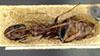 http://mczbase.mcz.harvard.edu/specimen_images/entomology/large/MCZ-ENT00022795_Camponotus_atlantis_var_planitiae_hada.jpg