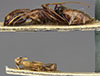 http://mczbase.mcz.harvard.edu/specimen_images/entomology/large/MCZ-ENT00022795_Camponotus_atlantis_var_planitiae_hala.jpg